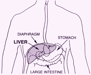Human liver location diagram human liver location diagram photo27 ccuart Image collections